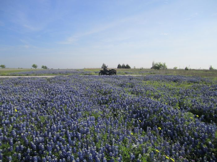The bluebonnets were in full bloom